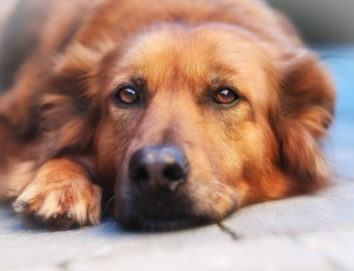 Tratamiento natural del dolor artrosis en perros y gatos