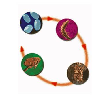 ciclo pulga